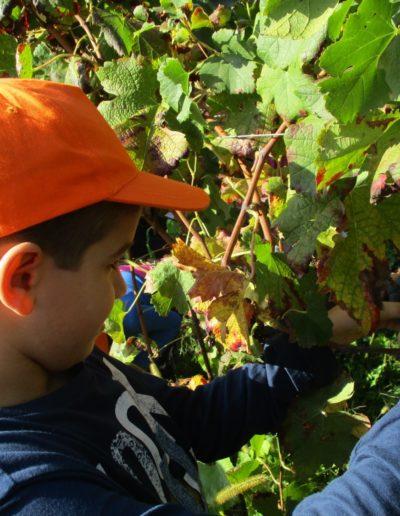 Progetto dall'uva al vino alunno all'opera